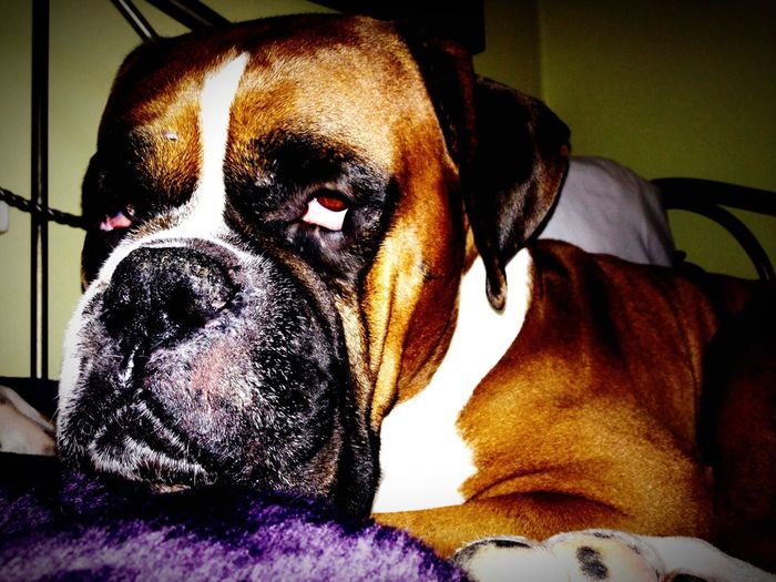 Dog Pets Pampered Pets Boxer Boxer Dogs Boxer Dog Animal Themes Animal Keanureeves Tired First Eyeem Photo