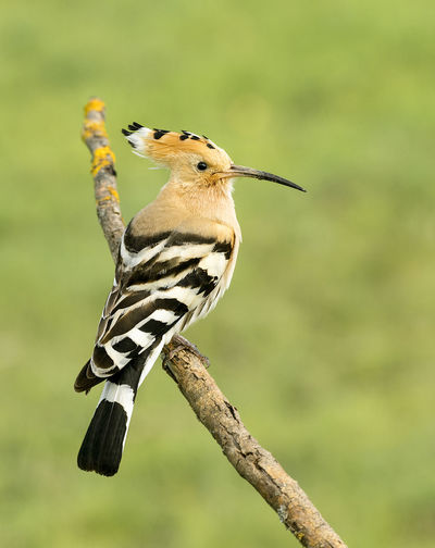 Upupa Epops Animal Animal Themes Animal Wildlife Animals In The Wild Beauty In Nature Bird Branch Close-up Day Focus On Foreground Full Length Hoopoe Nature No People One Animal Outdoors Perching Plant Tree Vertebrate Woodpecker