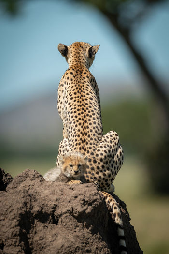 View of cheetah with cub on rock