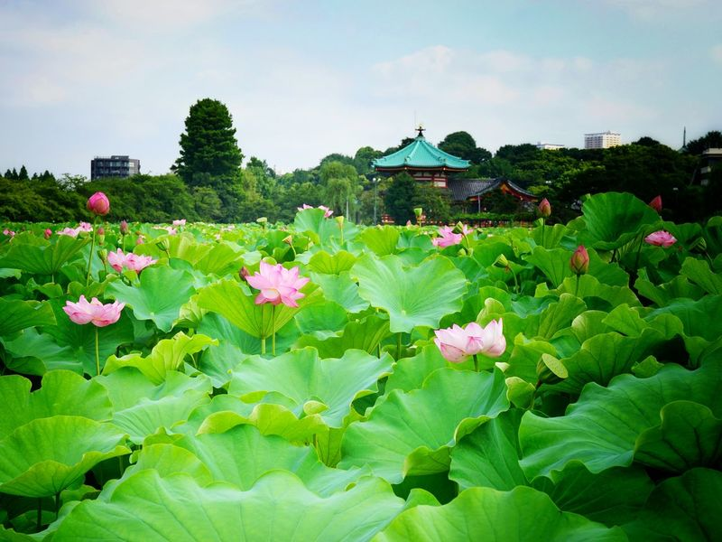 Beauty In Nature Close-up Day Flower Flower Head Fragility Freshness Growth Japan Lotus Lotus Flower Nature Outdoors Pink Color Plant Tokyo Ueno 上野 花 蓮 2016