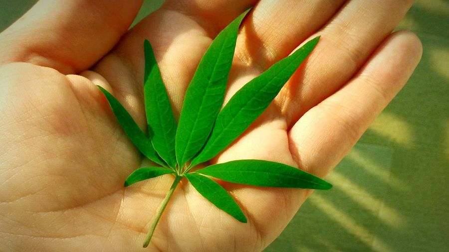 Marijuana looking weed surprise on the road-side. Close-up Leaf Plant Growth Nature Green Color Palm Botany Green Fragility Beauty In Nature Leaf Close-up Plant Growth Person Flower Nature Green Color Beauty In Nature Green Palm Freshness Fragility Focus On Foreground