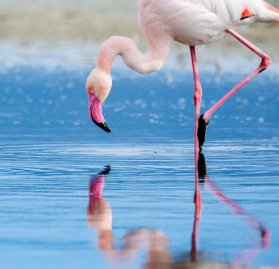 Close-Up Of Flamingo In Water