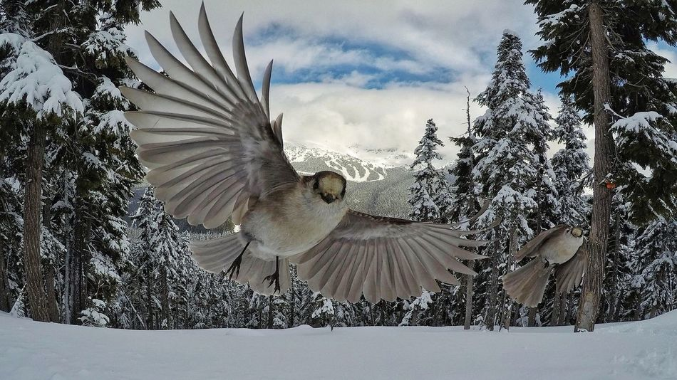 Whisky Jacks cheekily eyeing our lunch while skiing in Whistler, British Columbia. The Great Outdoors - 2017 EyeEm Awards Bird Sky Close-up Animals In The Wild Nature Outdoors Whiskyjacks Whistler Bristishcolumbia Canada Trees Snow Mountains