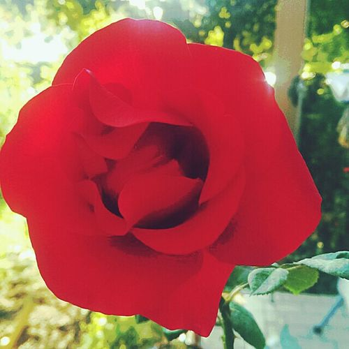 Like and share the rose on my Fanpage for setting a sing for world freedom go to https://www.facebook.com /LimitierterKalender ... Thank you Nature_collection Nature On The Road Nature_collection