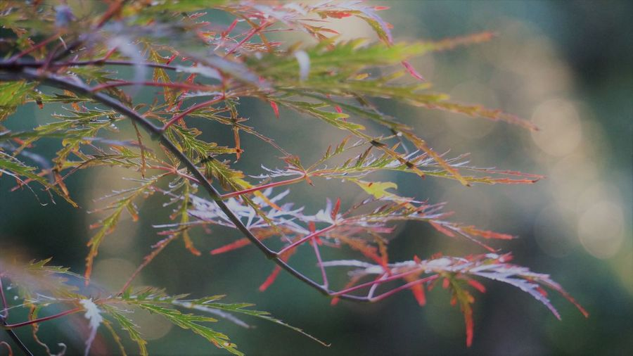Tamukeyama Japanese Maple Leaves Japanese Maple Autumn Beauty In Nature Branch Change Close-up Day Focus On Foreground Fragility Full Frame Green Color Growth Japanese Maple Leaves Leaf Leaves Maple Leaf Nature No People Outdoors Plant Plant Part Selective Focus Tranquility Tree Vulnerability