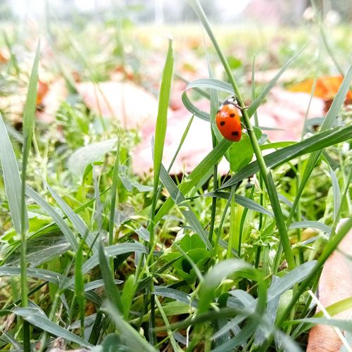 Ladybird Insect Grass Day Beauty In Nature Growth Close-up Nature First Eyeem Photo EyeEmNewHere