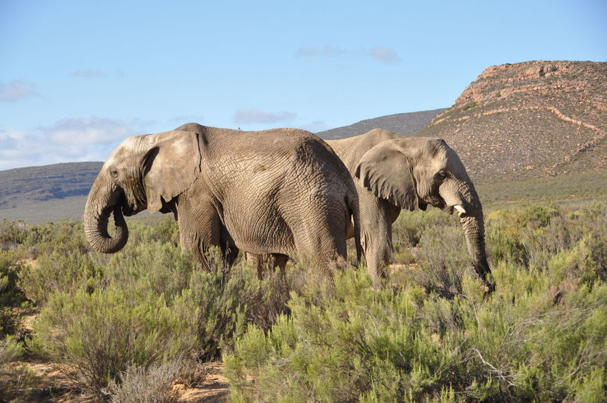 Africa Wildlife African Elephant Animal Wildlife Animals In The Wild Aquila Game Reserve Beauty In Nature Day Elephant Grass Landscape Mammal Nature No People One Animal Outdoors Scenics Sky