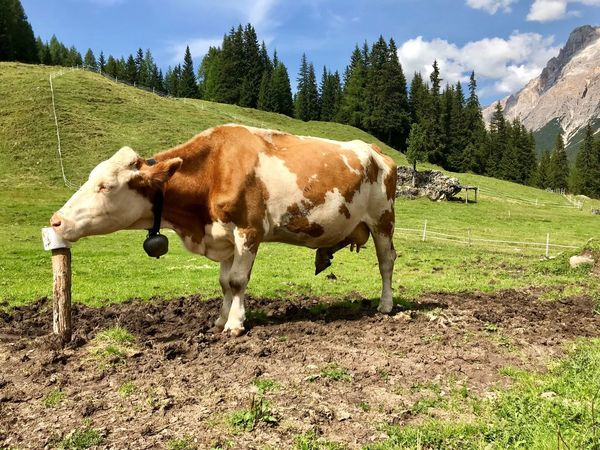 Dolomites, Italy Plant Livestock Field Mammal Land Domestic Animals Domestic Animal Themes Tree Animal Grass Landscape Cow Nature Green Color No People