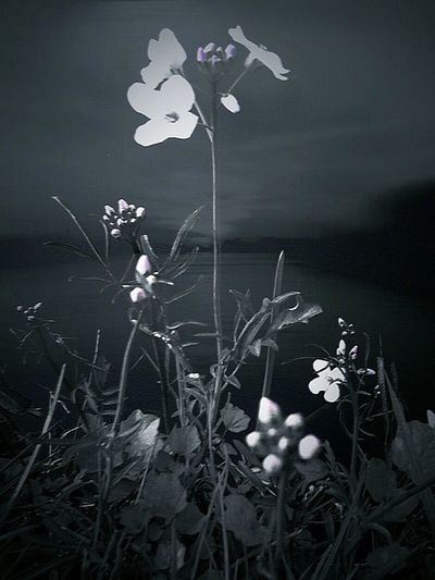 Black And White Black And White Photography Flowers By The Lake Pinksterbloemen Wild Flowers Weidebloem
