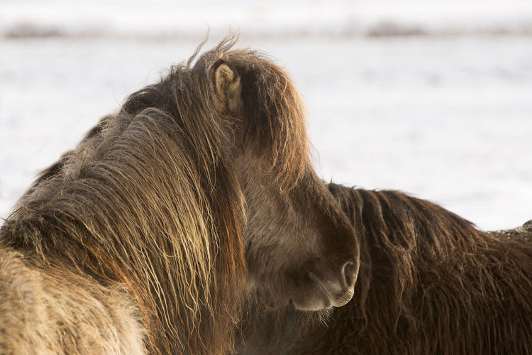 Icelandic horses on snow covered field during winter