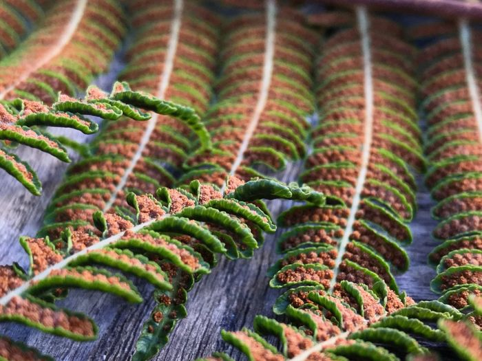 Growth Nature Green Color Plant No People Fern Close-up Day Beauty In Nature Outdoors Focus On Foreground Leaf Freshness Fragility Cyathea Cooperi Tree Fern Ferns Fern Spores Spores Plant Sexuality