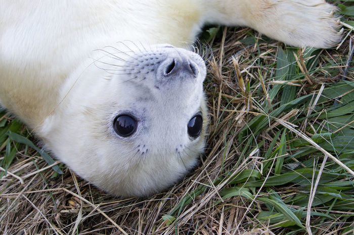 Seal Pups at Dona Nook Animal Themes Animals In The Wild Baby Seal Close-up Day Grass Gray Seal Mammal Nature No People One Animal Outdoors Portrait Seal Pup White Color Young Animal