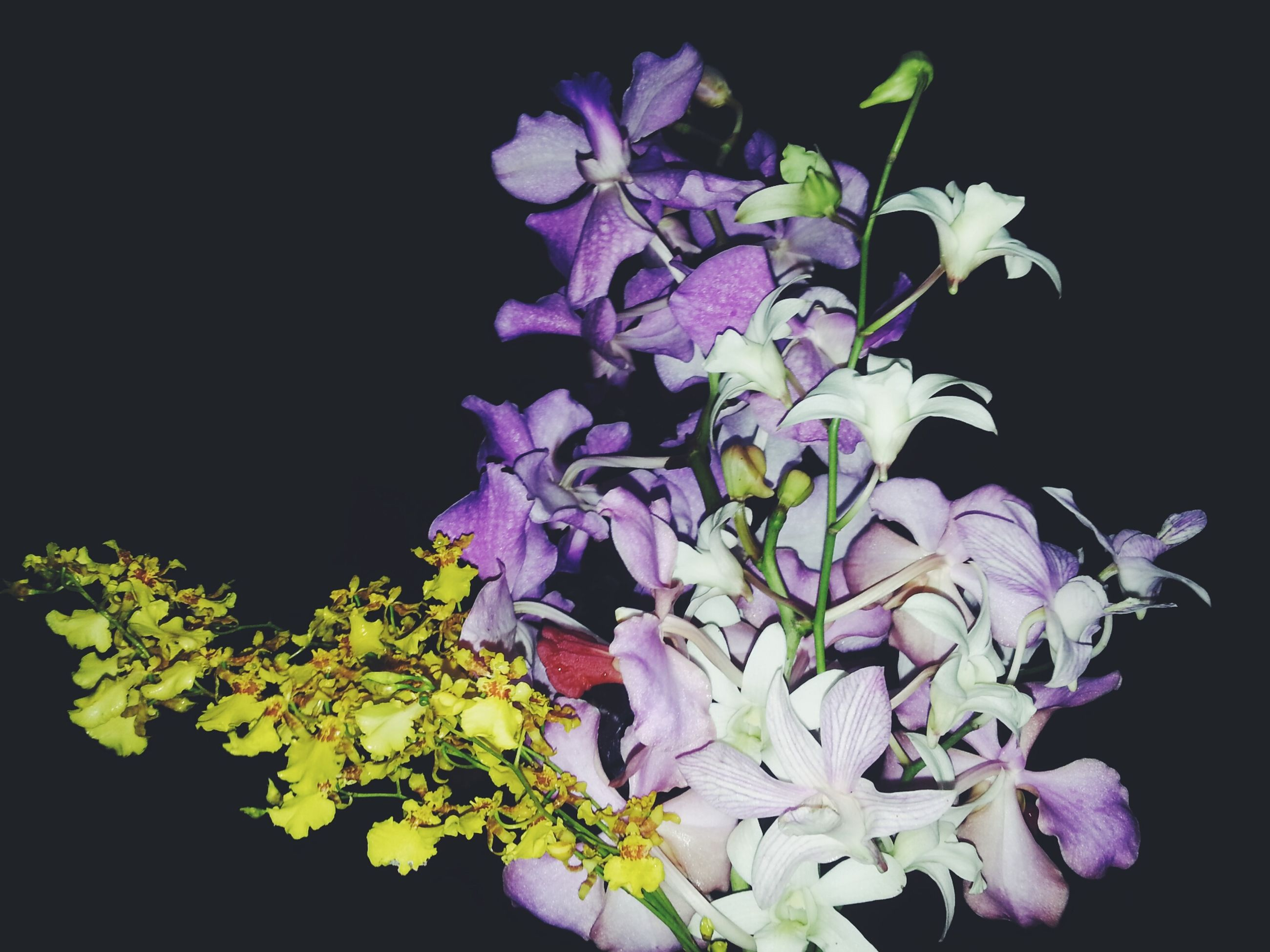 flower, freshness, petal, fragility, growth, beauty in nature, flower head, black background, studio shot, close-up, nature, purple, plant, blooming, night, in bloom, blossom, copy space, leaf, stem
