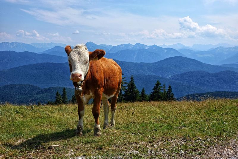 Bavarian Alps Cow Mountains Freshair Freedom Summer Exploring Nature Happiness Happy Time Goodvibes✌️