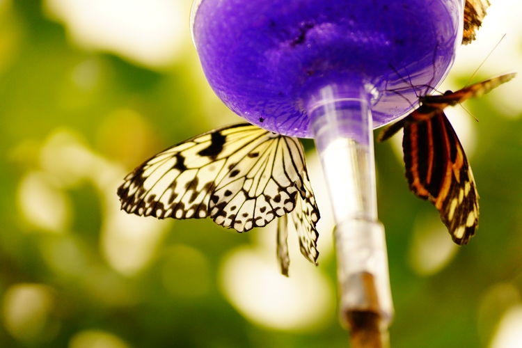 Animal Themes Animal Wing Animals In The Wild Arthropod Beauty In Nature Butterfly Butterfly - Insect Close-up Day Flower Flower Head Focus On Foreground Fragility Freshness Insect Nature No People One Animal Outdoors Petal Pollination Purple Single Flower Wildlife Zoology