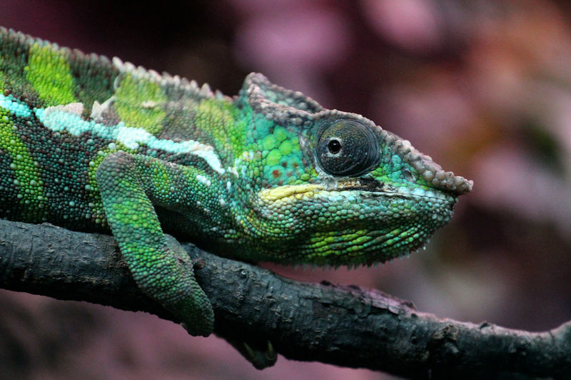 Animal Themes One Animal Animal Wildlife Animal Reptile Lizard Animals In The Wild Vertebrate Close-up Chameleon Green Color Animal Body Part Branch Nature Animal Head  Outdoors Zoology Animal Scale Animal Eye Panther Chameleon Furcifer Pardalis Madagascar  Fauna Wildlife Fauna Of Madagascar