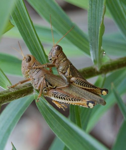 Breeding Grasshopper's (Small one is the Male not the Big One)