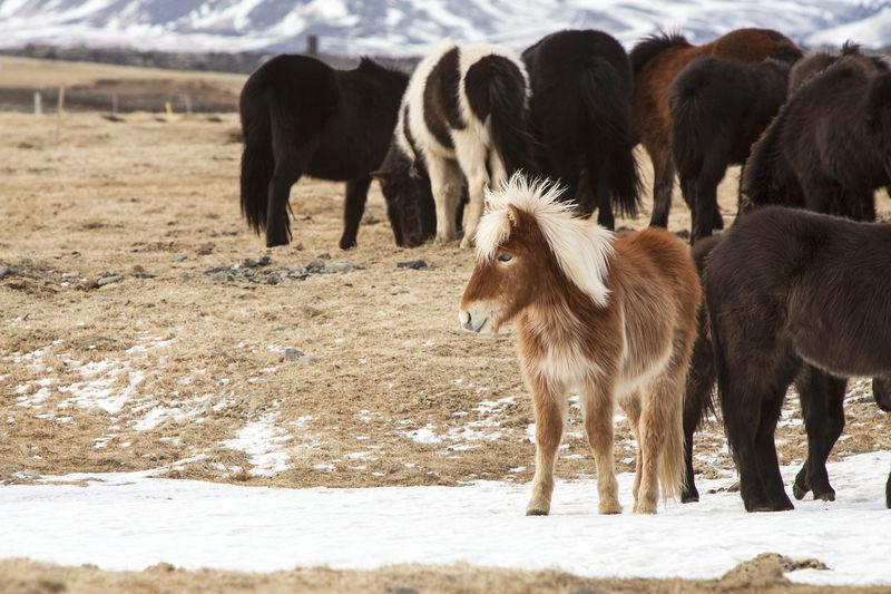 Herd of icelandic horse