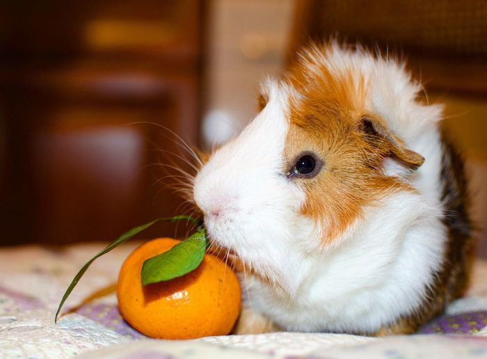 Close-up of cute guinea pig indoors
