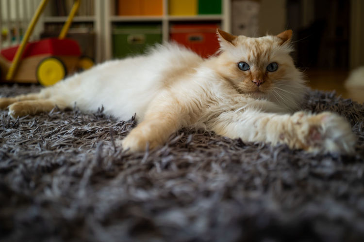 Birman Cat Domestic Pets Animal Themes Animal Mammal Domestic Cat Domestic Animals Cat Feline One Animal Selective Focus Vertebrate Relaxation Looking At Camera No People Portrait White Color Lying Down Indoors  Home Interior Whisker Kitten Surface Level Birman Cat