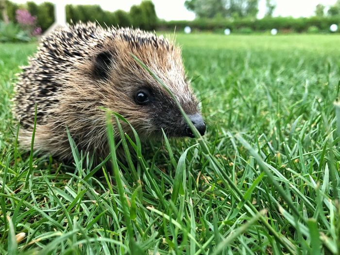 Luc Hedgehog Inmygarden Igelstation Igel Hedgehog Pflegeigel Grass Plant Animal One Animal Field Animal Themes Green Color Animals In The Wild Portrait Focus On Foreground Nature Animal Wildlife