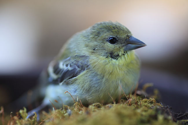 Goldfinch recovering from a window collision rests on a patch of moss. Backyard Birds Beak Bird Birdwatching Close-up Day Dazed Goldfinch Gray Green Moss Natural Light Nature No People One Animal Ornithology  Plants Resting Songbird  Stunned Textures Wildlife Yellow