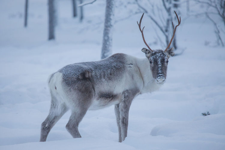 Portrait of reindeer on snow covered ground