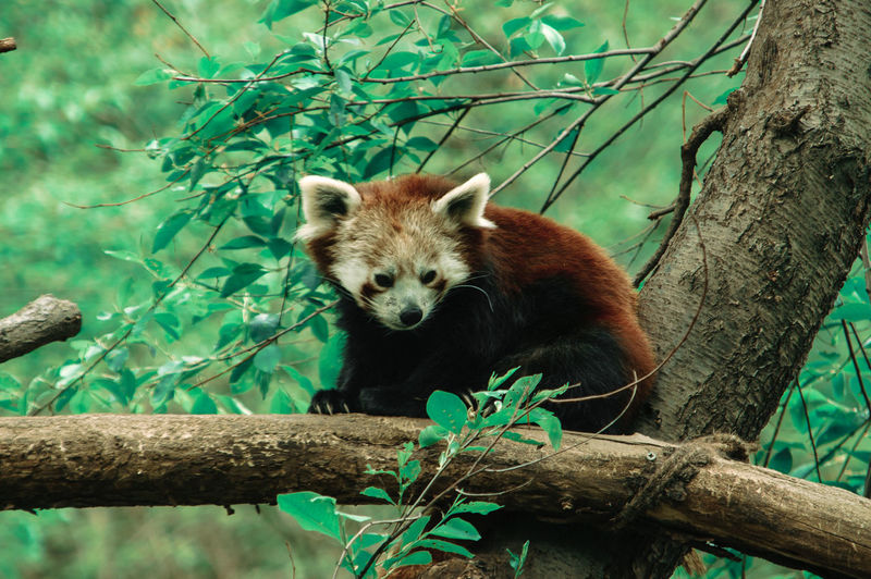 Close-Up Of Redpanda On Branch