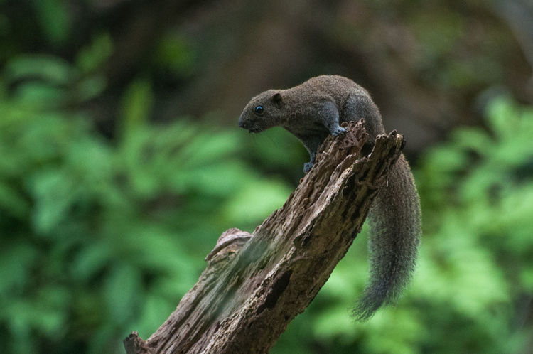 Tupai Animals In The Wild In The Wild Squirrel Wildlife & Nature Animal Animal Themes Animal Wildlife Animals In The Wild Bokeh Day Focus On Foreground Grey Squirrel Grey Squirrel On Tree Trunk Mammal Mammals Nature No People One Animal Outdoors Squirrel Tree Wildlife