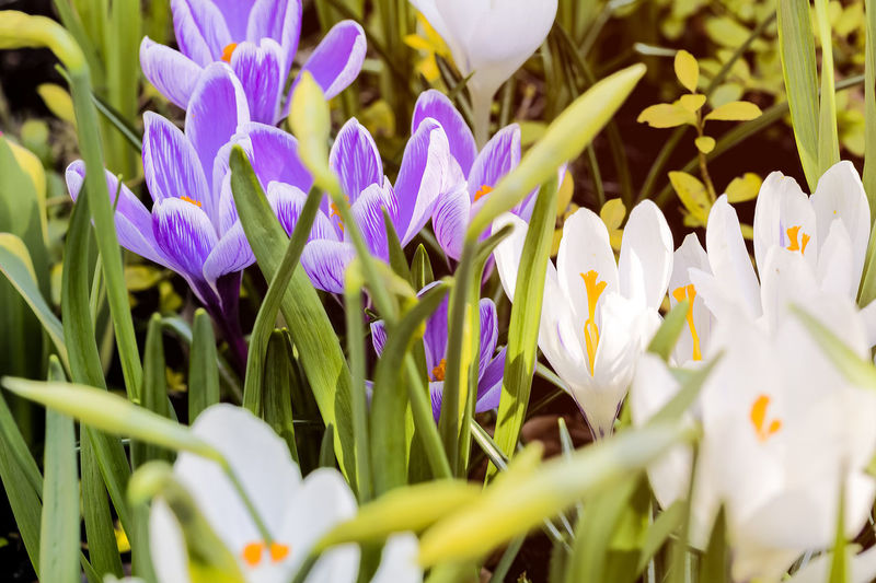 Flower Spring Springtime Season  Easter Nature Bud Blossom Outdoors Flowering Plant Plant Growth Beauty In Nature Vulnerability  Fragility Freshness Petal Close-up Flower Head Inflorescence Selective Focus White Color No People Purple Field Day Iris Crocus Pollen Flowerbed