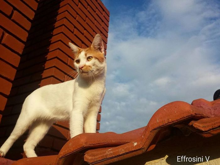 Alex walking around the roof. Alex Beautiful Cloud Day Ginger Low Angle View MyCity❤️ No People Noseykitty Roof Sky Smart