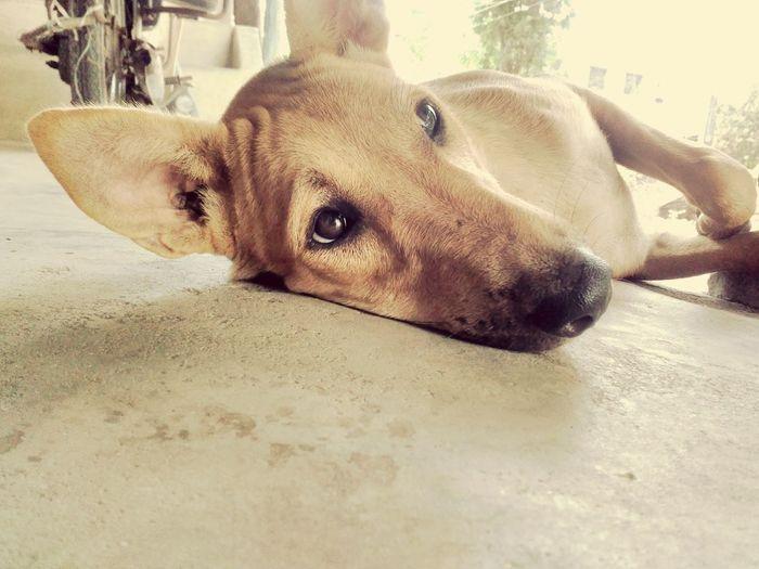 Portrait Looking At Camera Dog Lying Down Pets Pet Portraits