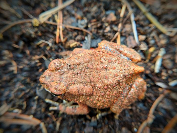 Fowlers Toad Toad Uwharrie Mountains American Toad Red Amphibian Fungus Close-up Landscape Toadstool Mushroom Edible Mushroom Wild