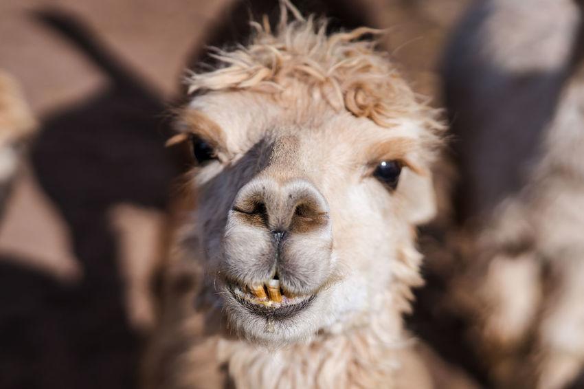 Alpaca Alpacas Animal Animal Themes Black Blonde Bro Brown Close-up Cuddly Cute Cute Animals Cute Pets Day Domestic Animals Eyes Farm Furry Llama Llamas Mammal No People NOD One Animal Teeth