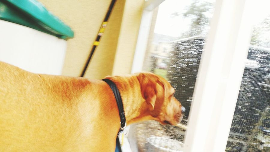 EyeEm Selects Domestic Animals One Animal Dog Animal Themes Window Looking Through Window No People Indoors  Day Water Pets Mammal Close-up Dog Whatching Rain Drops Throgh Screen Zephyrhills Fl