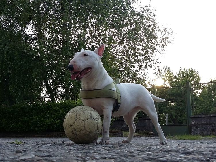 Missy Dog Domestic Animals One Animal Tree Pets Animal Themes Nature Sky Ball Outdoors No People Nature I Love My Dog Bullterrier Miniature Beautiful Dog My Dog Sun Italy❤️ Darling Pianello Val Tidone EyeEmNewHere