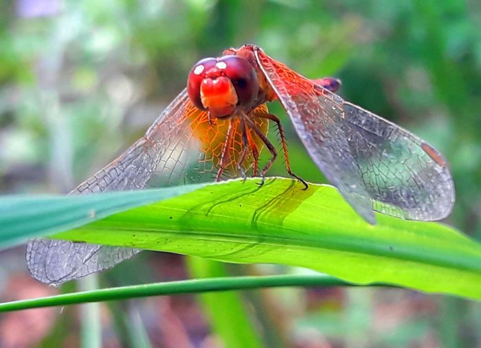 animal Green Color Beauty In Nature ❤️❤️ Thailand🇹🇭 2018 Day Perching Leaf Dragonfly Animal Wing Love Is Love The Still Life Photographer - 2018 EyeEm Awards Love Is Love The Still Life Photographer - 2018 EyeEm Awards The Portraitist - 2018 EyeEm Awards The Fashion Photographer - 2018 EyeEm Awards The Great Outdoors - 2018 EyeEm Awards The Street Photographer - 2018 EyeEm Awards The Traveler - 2018 EyeEm Awards The Creative - 2018 EyeEm Awards The Photojournalist - 2018 EyeEm Awards The Architect - 2018 EyeEm Awards World Cup 2018 EyeEmNewHere