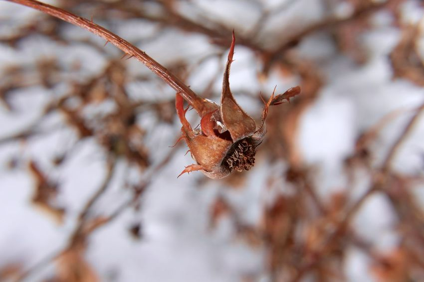 Dead flower in snow, 2018. Death Former Life Winter Winter Plants Beauty In Nature Branch Close Up Close-up Cold Temperature Day Dried Plant Flower Fragility Leaf Macro Nature No People Outdoors Plants In Snow Sadness Snow Sorrow Tree Twig Winter