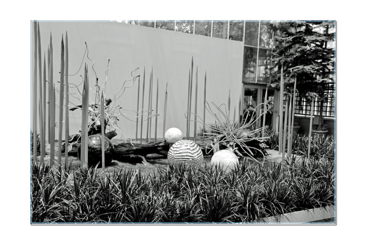 Chihuly In The Garden 19 Atlanta Botanical Gradens Atlanta, Ga. Sculptor : Dale Chihuly Neon Glass Sculptures Outdoor Art Exhibition Open-air Museum Neon With Neodymium Reeds,Floats And Logs Fuqua Conservatory Glass Art Glass Orbs Glass And Nature Neon Glass Tubing Monochrome Photograhy Monochrome Black & White Black & White Photography Black And White Collection  Black And White Abstract Photography Abstract Gardens