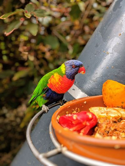 Close-up of parrot eating food