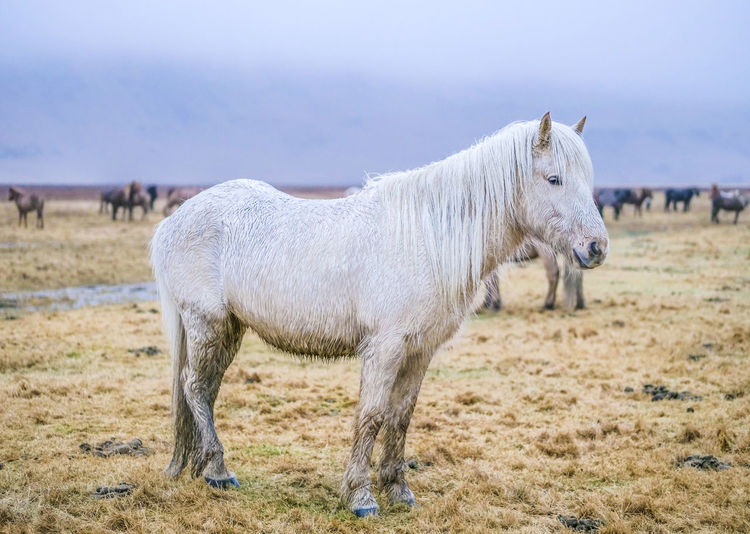 Livestock Domestic Mammal Domestic Animals Animal Animal Themes Pets Horse Animal Wildlife Vertebrate Standing Land Field One Animal White Color Landscape Focus On Foreground Nature Environment Day No People Herbivorous Profile View Ranch Iceland