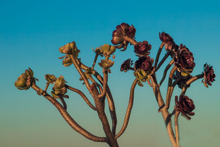 Close-up of wilted plant against blue sky