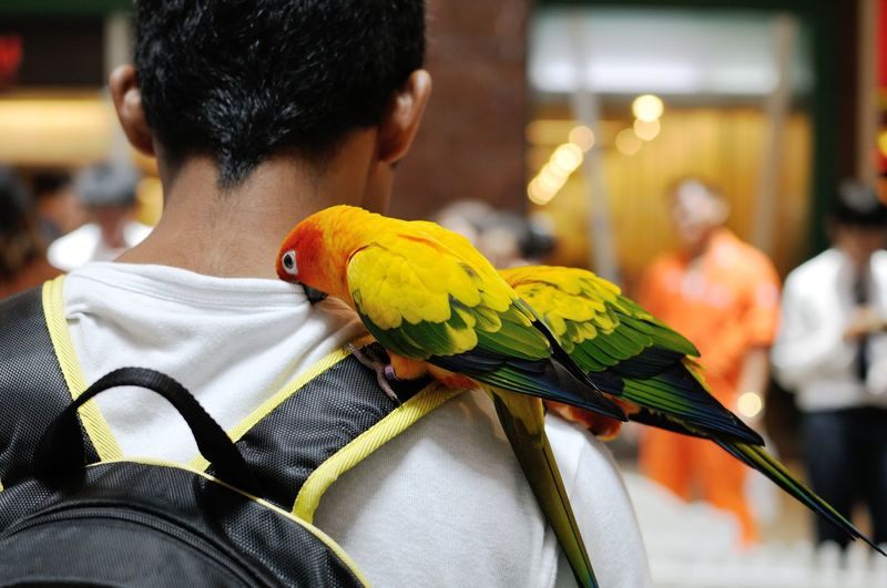 Rear view of man with sun conures perching on shoulder