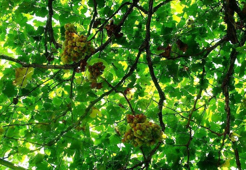 Low Angle View Nature Growth Green Color Branch Day Outdoors No People Beauty In Nature Fruit Backgrounds Leaf Freshness Grapes Hanging Fruit Hanging Grapes Green Grapes Grapevine Grapes On The Vine