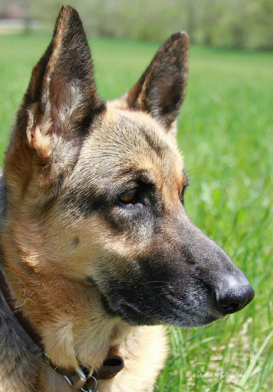 dog, animal themes, one animal, domestic animals, pets, grass, no people, german shepherd, mammal, focus on foreground, close-up, day, field, outdoors