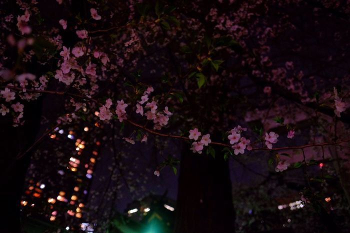 Showcase April Yozakura Sakura Cherry Blossoms Urban Nature Japan Photography Nightphotography Night Lights Fujifilm Fujifilm_xseries XF16mmF1.4 Velvia The Purist (no Edit, No Filter)
