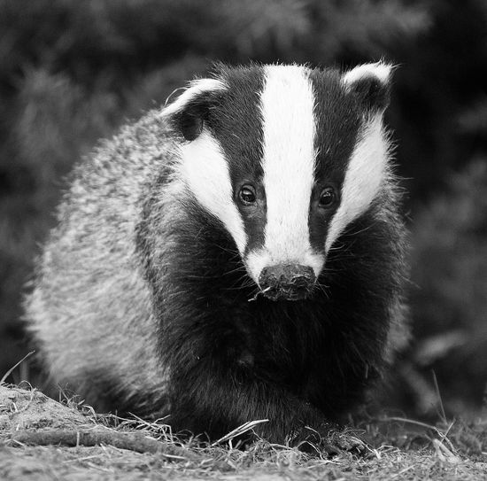 Animals In The Wild Wildlife & Nature Wildlife Photography Wildlife Photos Animal Themes Animal Wildlife Animals In The Wild Badger Blak & White Close-up Day Field Nature No People One Animal Outdoors Portrait Sitting Wildlife Wildlife_perfection