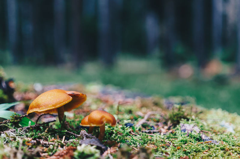 Mushroom Food Fungus Vegetable Plant Land Forest Food And Drink Nature Growth Tree No People Toadstool Day Selective Focus Close-up Field Autumn Fly Agaric Mushroom Grass Outdoors Surface Level Change