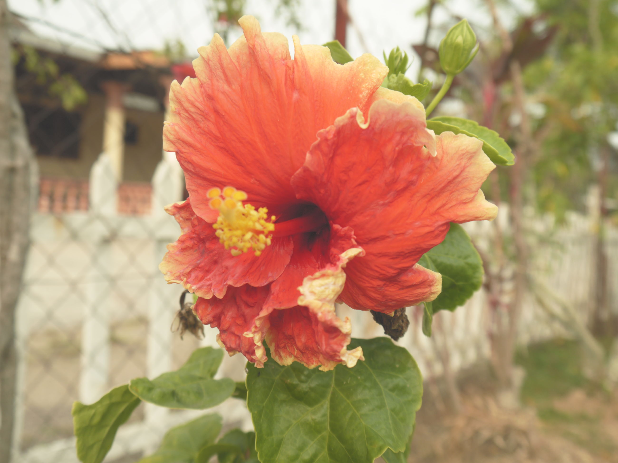 flower, petal, freshness, flower head, fragility, focus on foreground, growth, close-up, beauty in nature, orange color, blooming, nature, plant, red, single flower, in bloom, hibiscus, day, leaf, pollen