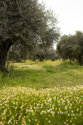 Olive plantation with spring flowers